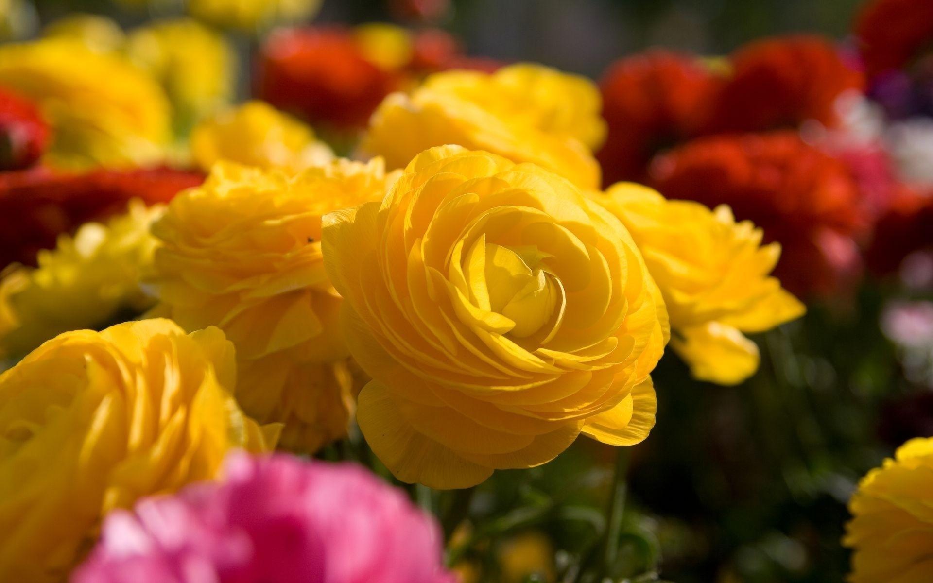 Yellow Flowers Hd Wallpaper