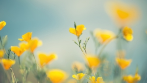 Yellow Flowers High Quality Wallpapers