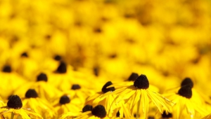 Yellow Flowers Widescreen