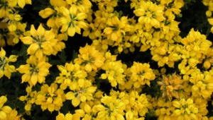 Yellow Flowers For Desktop Background
