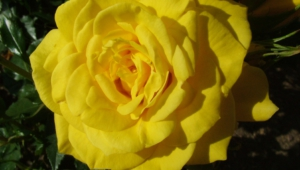 Yellow Rose 4k