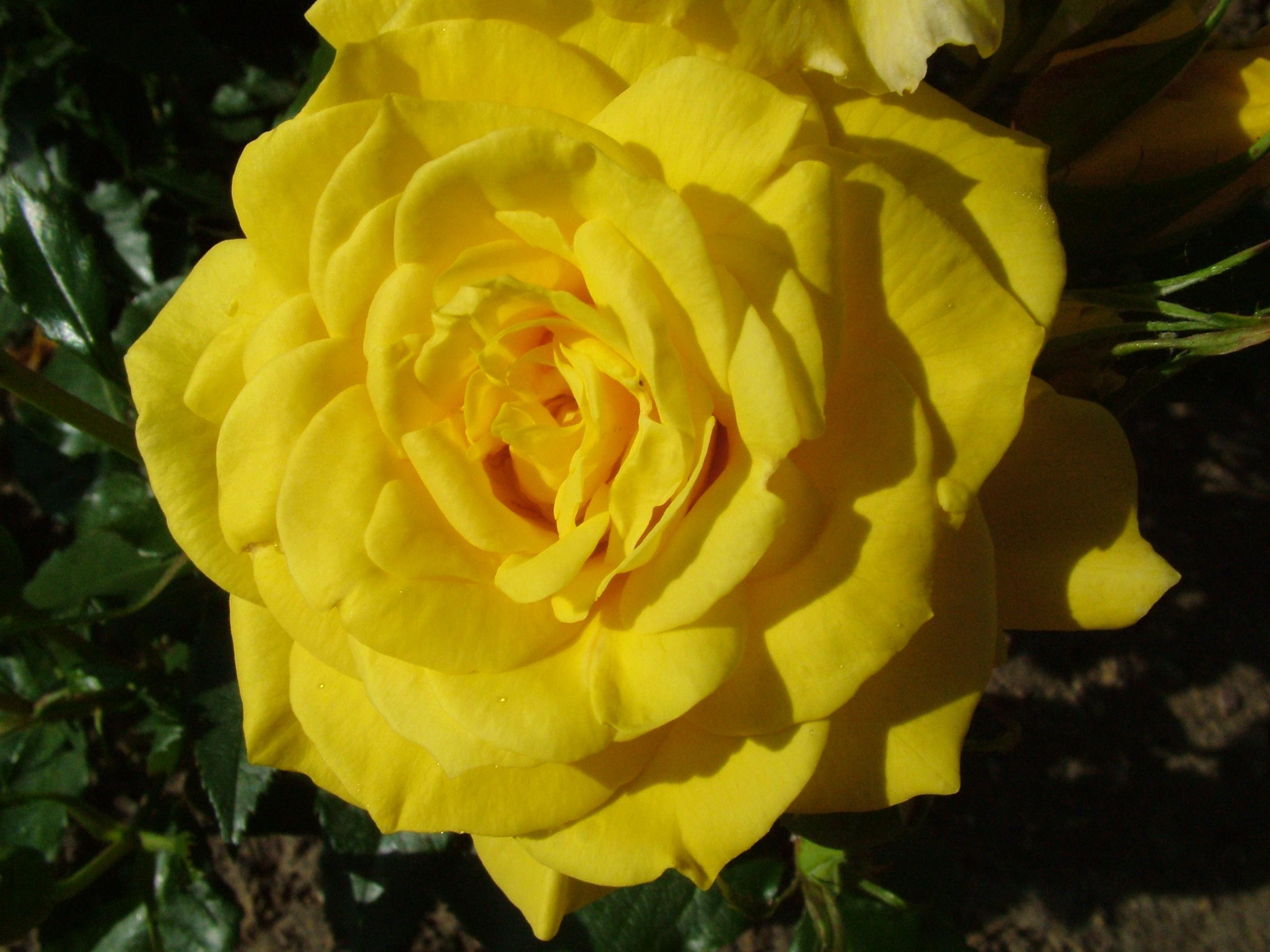 Yellow Rose 4k