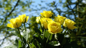 Yellow Rose Computer Backgrounds