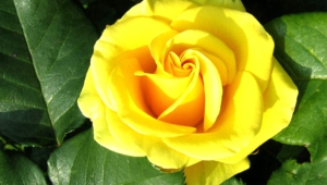 Yellow Rose Desktop