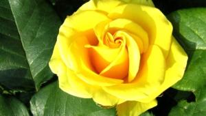 Yellow Rose Desktop