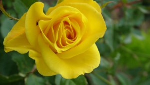 Yellow Rose Desktop Images
