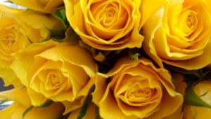 Yellow Rose Desktop Wallpaper