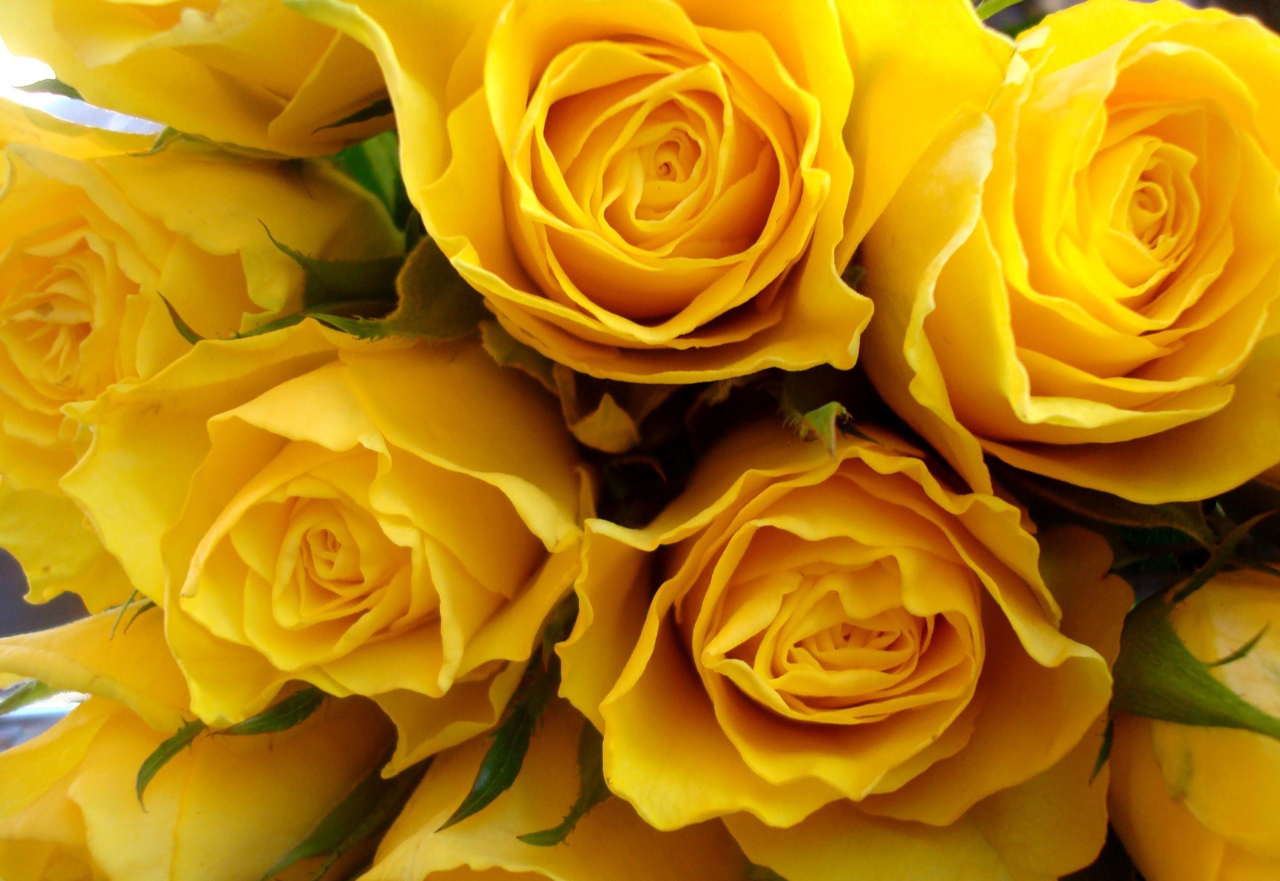 Yellow Rose Desktop Wallpaper