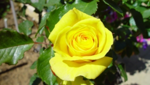 Yellow Rose Download
