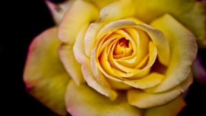 Yellow Rose Hd