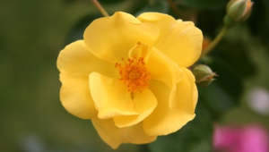Yellow Rose Hd Background