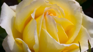 Yellow Rose Hd Desktop