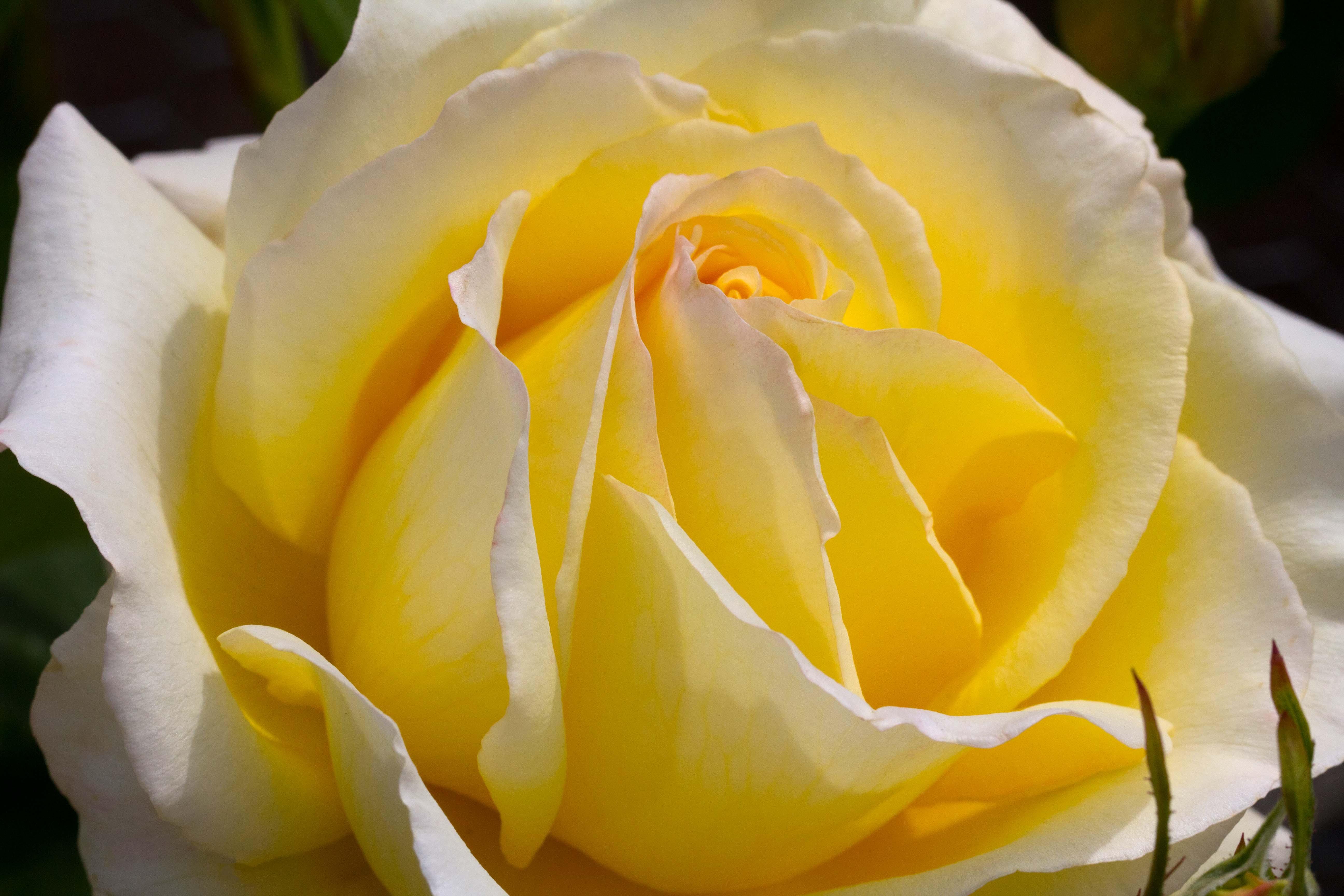 Yellow Rose Hd Desktop