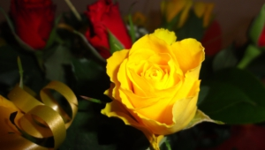 Yellow Rose Hd Wallpaper