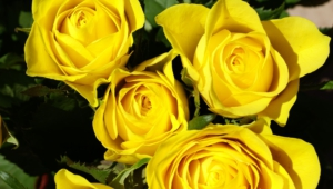 Yellow Rose High Definition