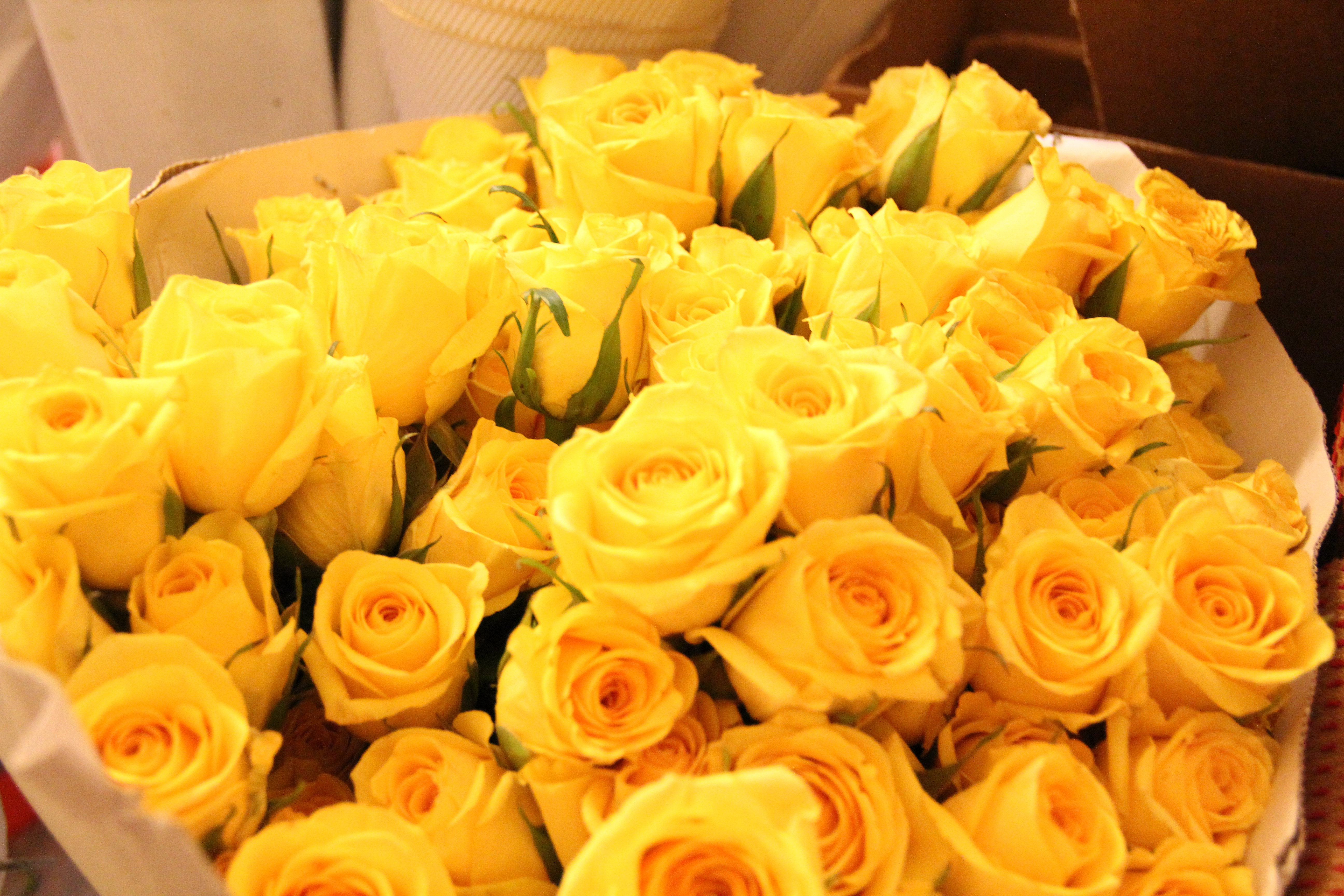 Yellow Rose High Definition Wallpapers