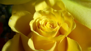 Yellow Rose Photos