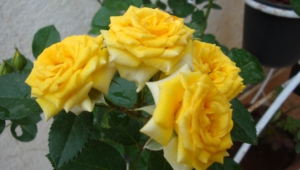 Yellow Rose Wallpaper For Computer
