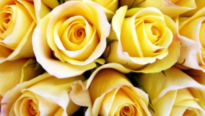 Yellow Rose Wallpaper For Laptop