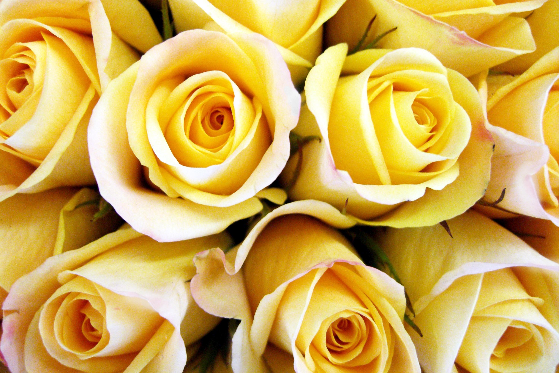 Yellow Rose Wallpaper For Laptop