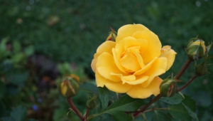 Yellow Rose Wallpapers