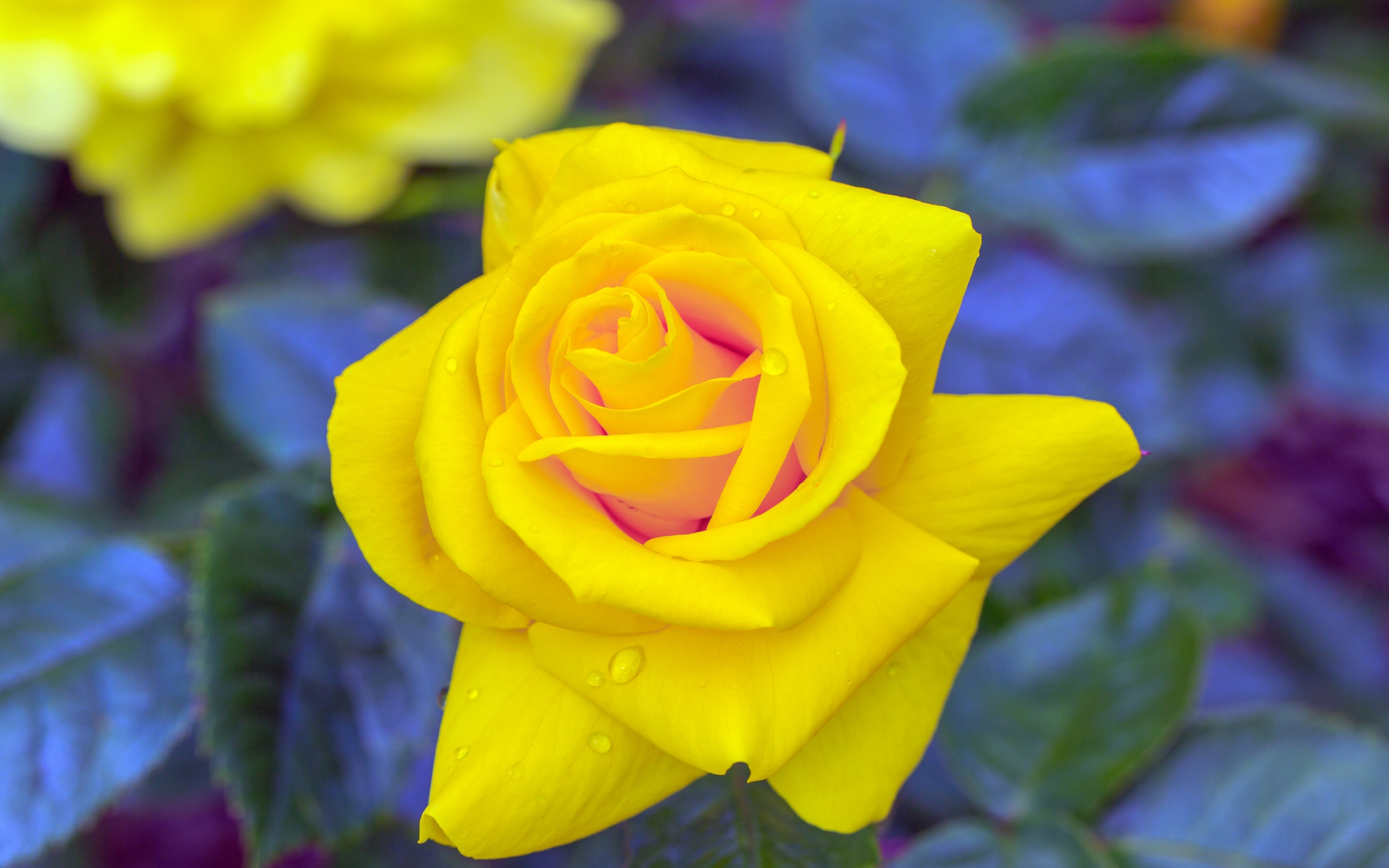 Yellow Rose Wallpapers Hd