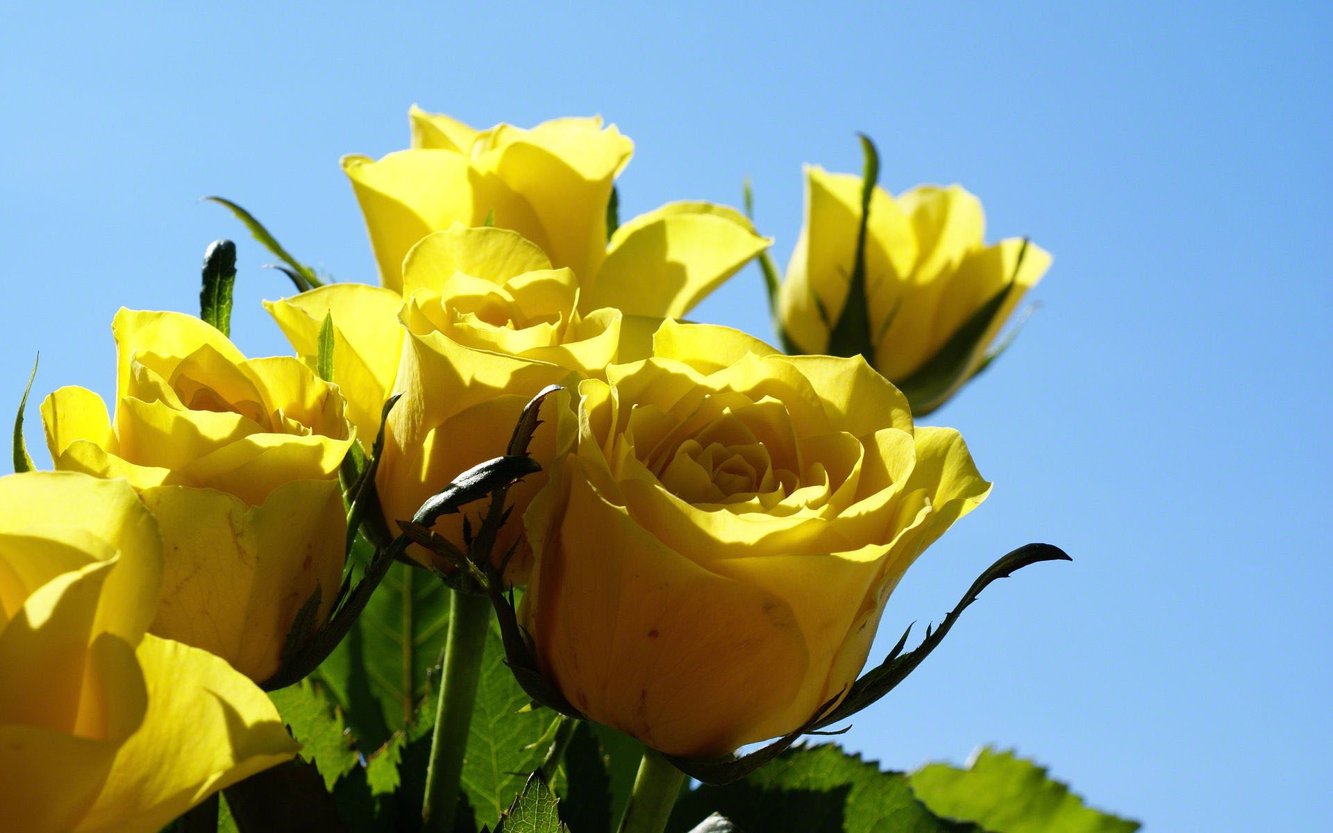 Yellow Rose Wallpapers Hq