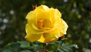 Yellow Rose Widescreen