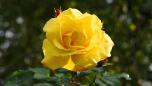 Yellow Rose Widescreen