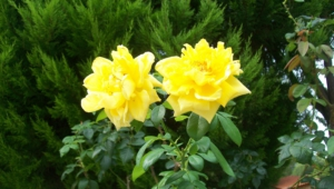 Yellow Rose For Desktop Background