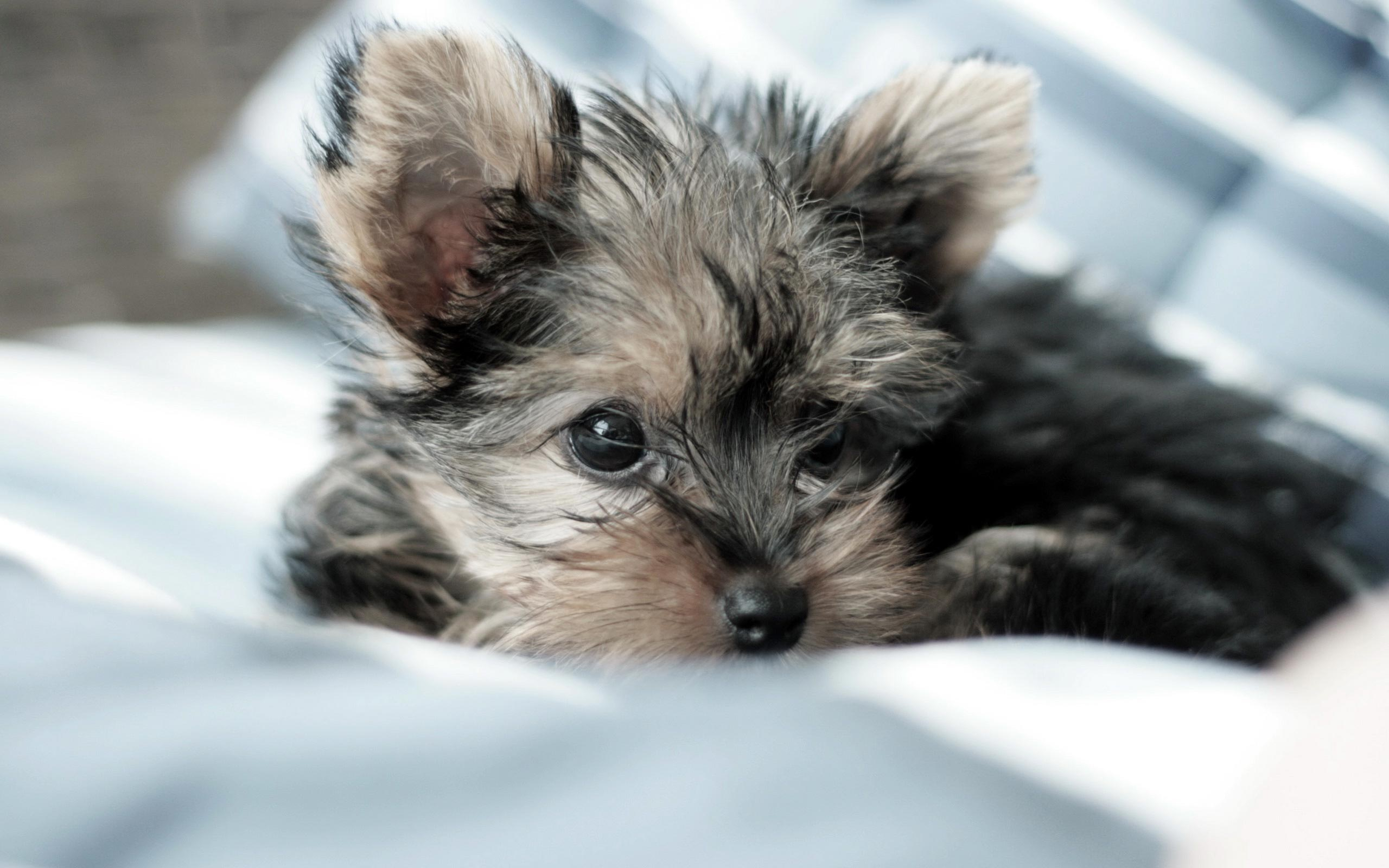 Yorkshire Terrier Background
