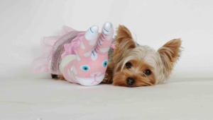 Yorkshire Terrier Desktop Images