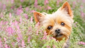 Yorkshire Terrier Desktop Wallpaper