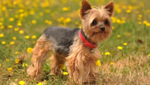 Yorkshire Terrier Hd