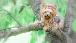 Yorkshire Terrier High Definition