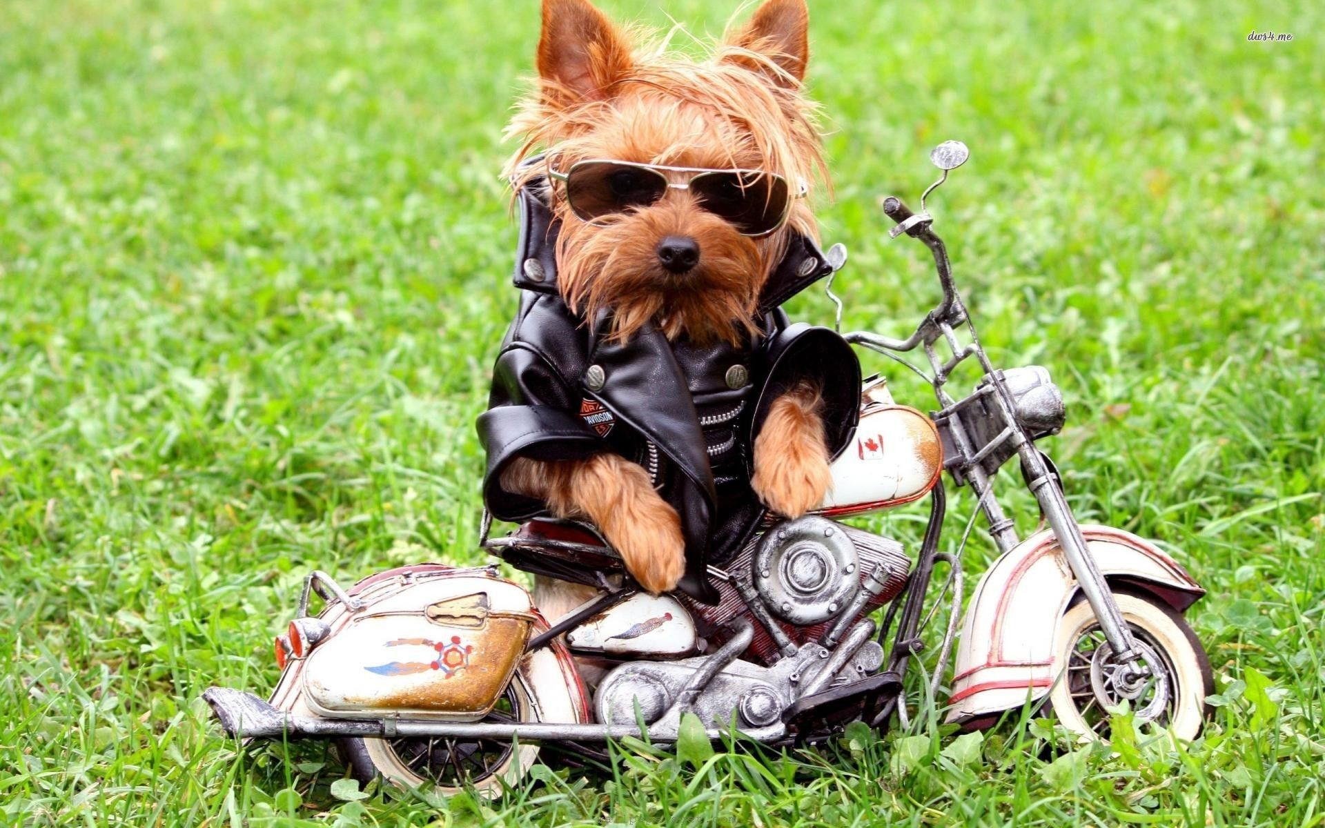 Yorkshire Terrier High Definition Wallpapers