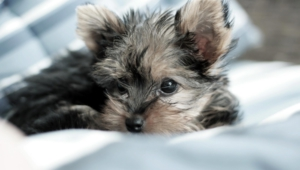 Yorkshire Terrier Pictures