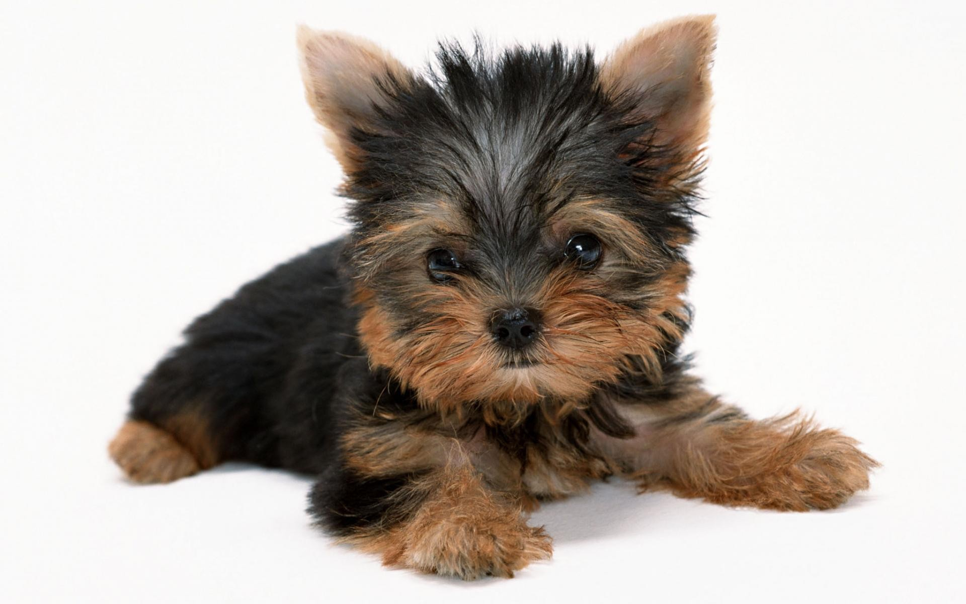 Yorkshire Terrier Wallpapers Hd