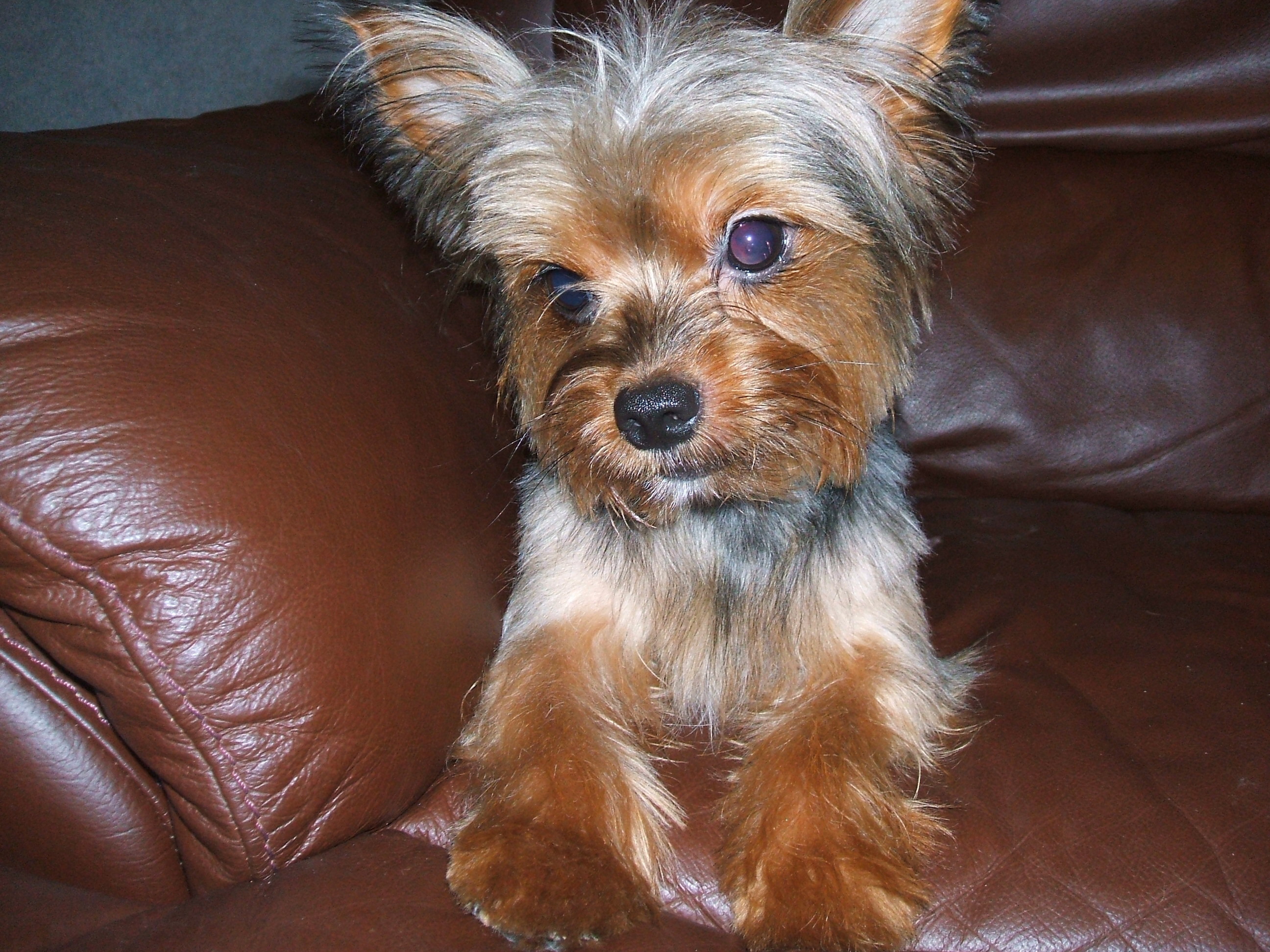 Yorkshire Terrier Wallpapers Hq