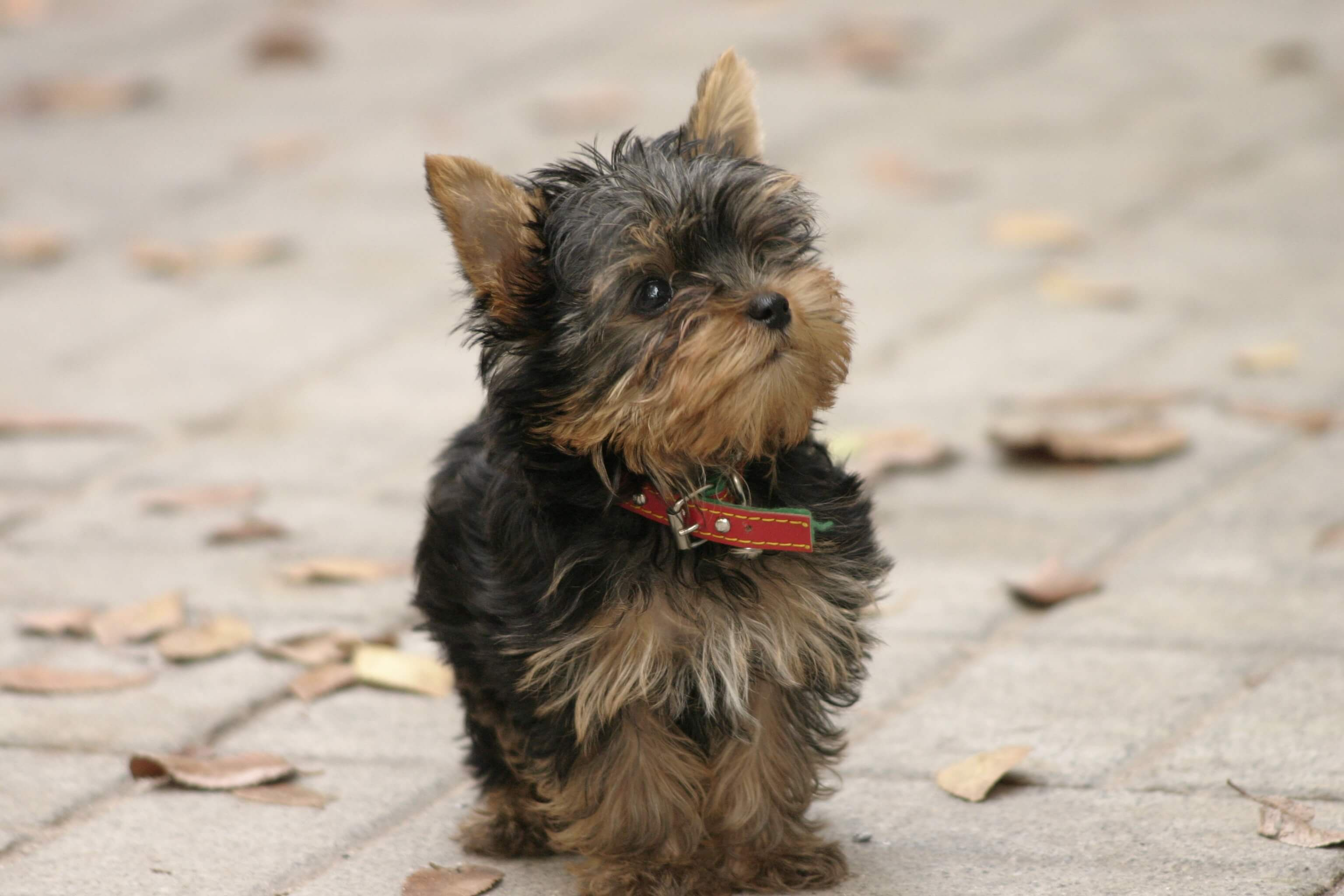 Yorkshire Terrier Wallpapers And Backgrounds