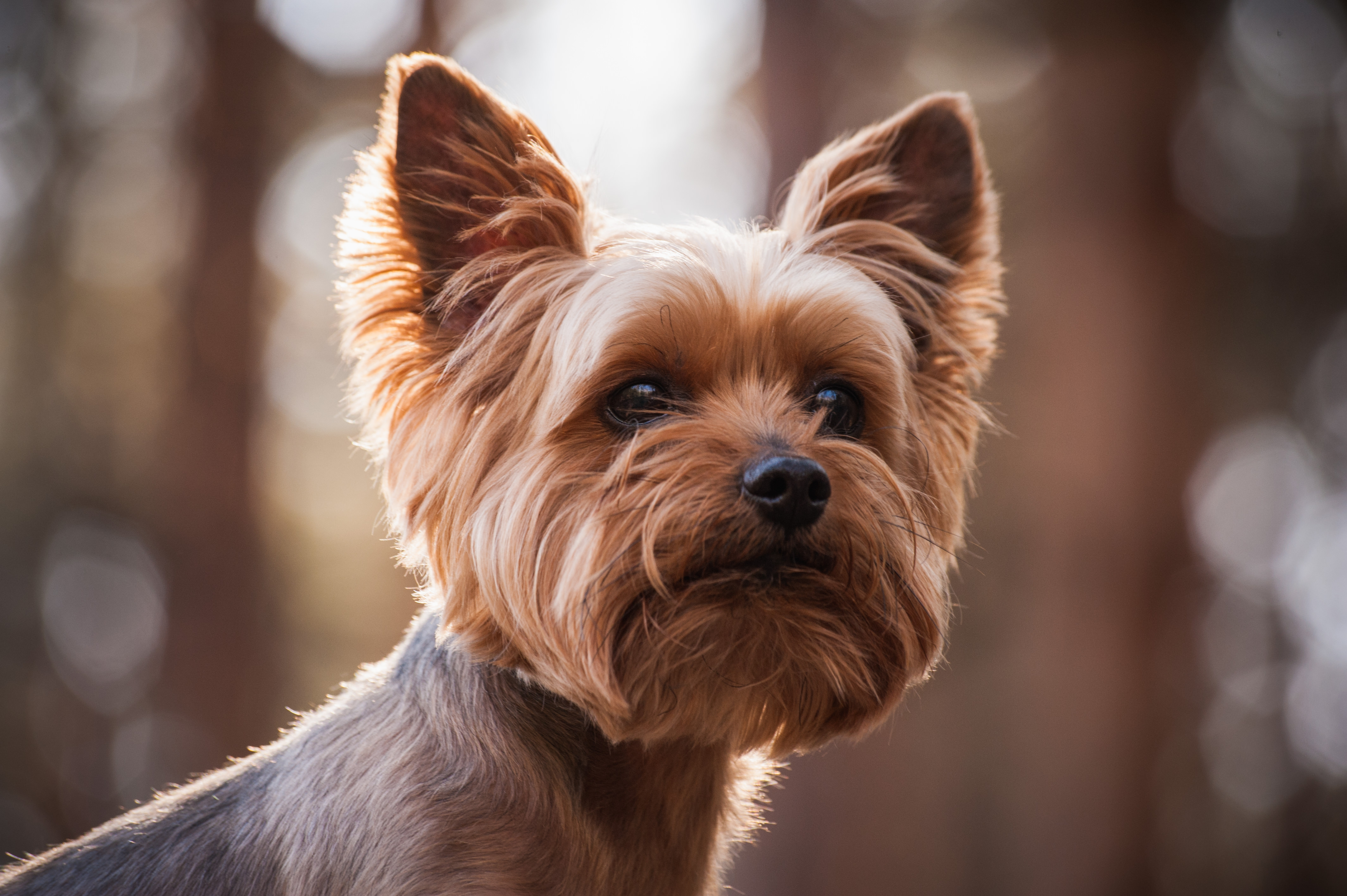 Yorkshire Terrier Wallpapers