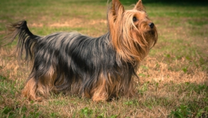 Yorkshire Terrier For Desktop