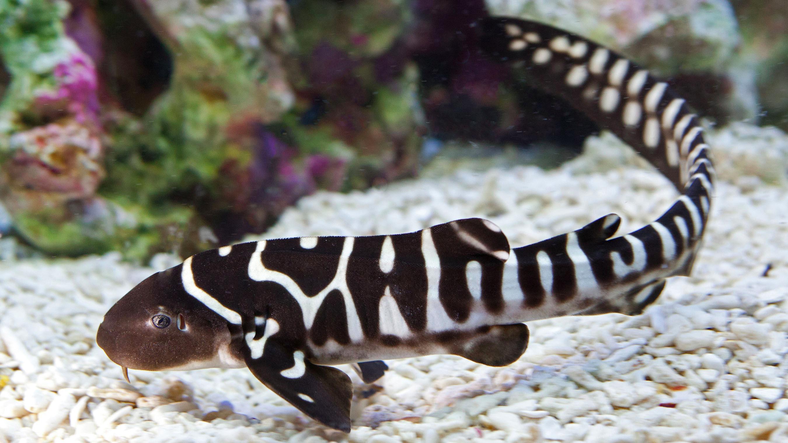 Zebra Shark Pictures