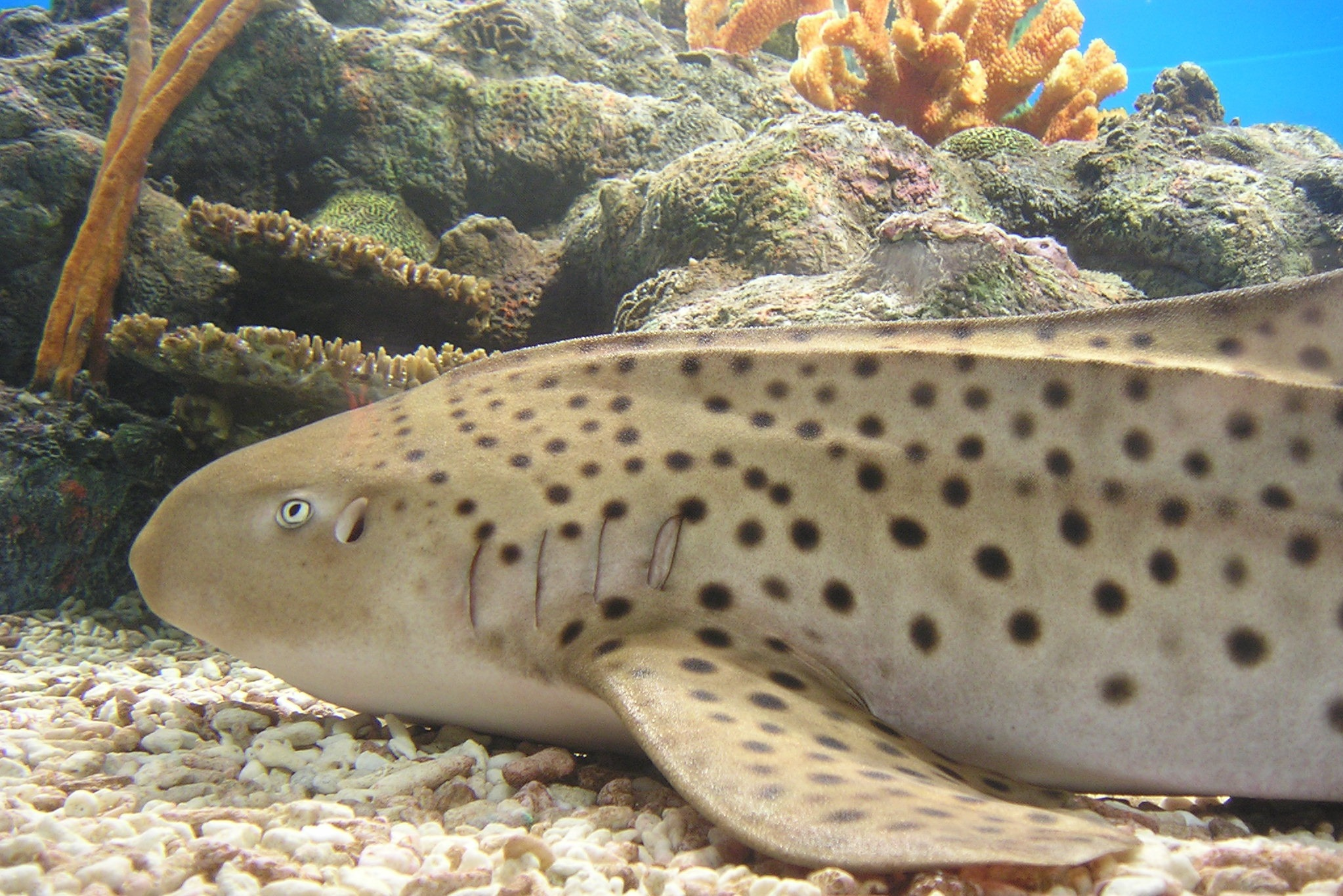 Zebra Shark Wallpapers Hq