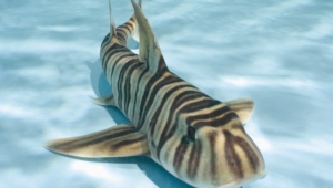 Zebra Shark Full Hd