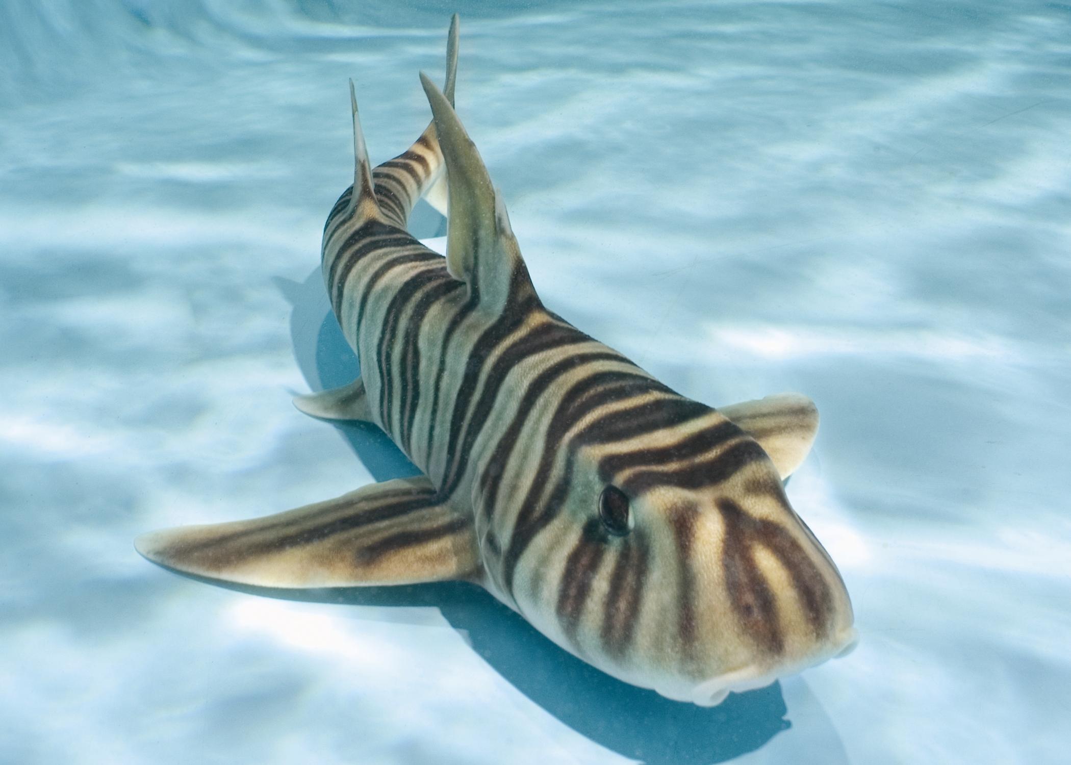 Zebra Shark Full Hd