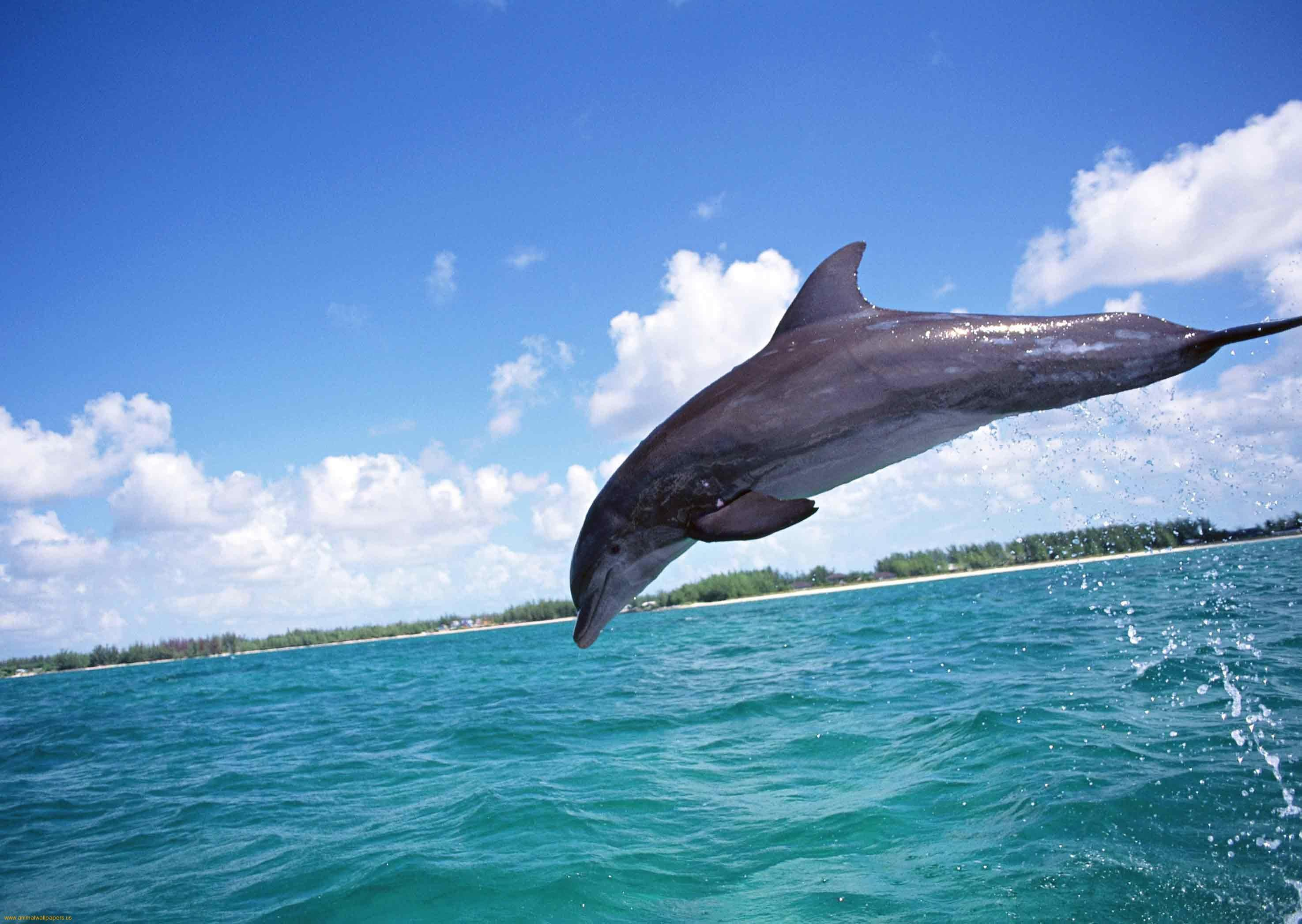 Bottlenose Dolphins Pictures