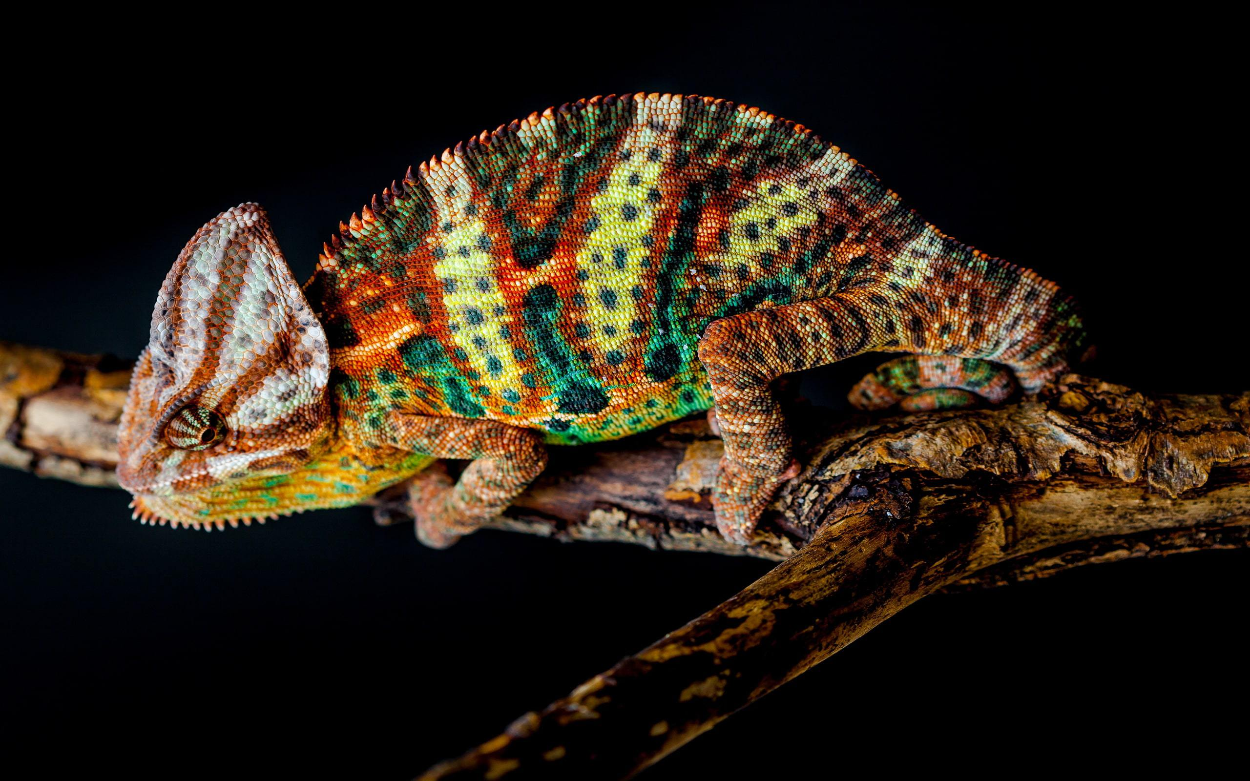 Chameleon Photos