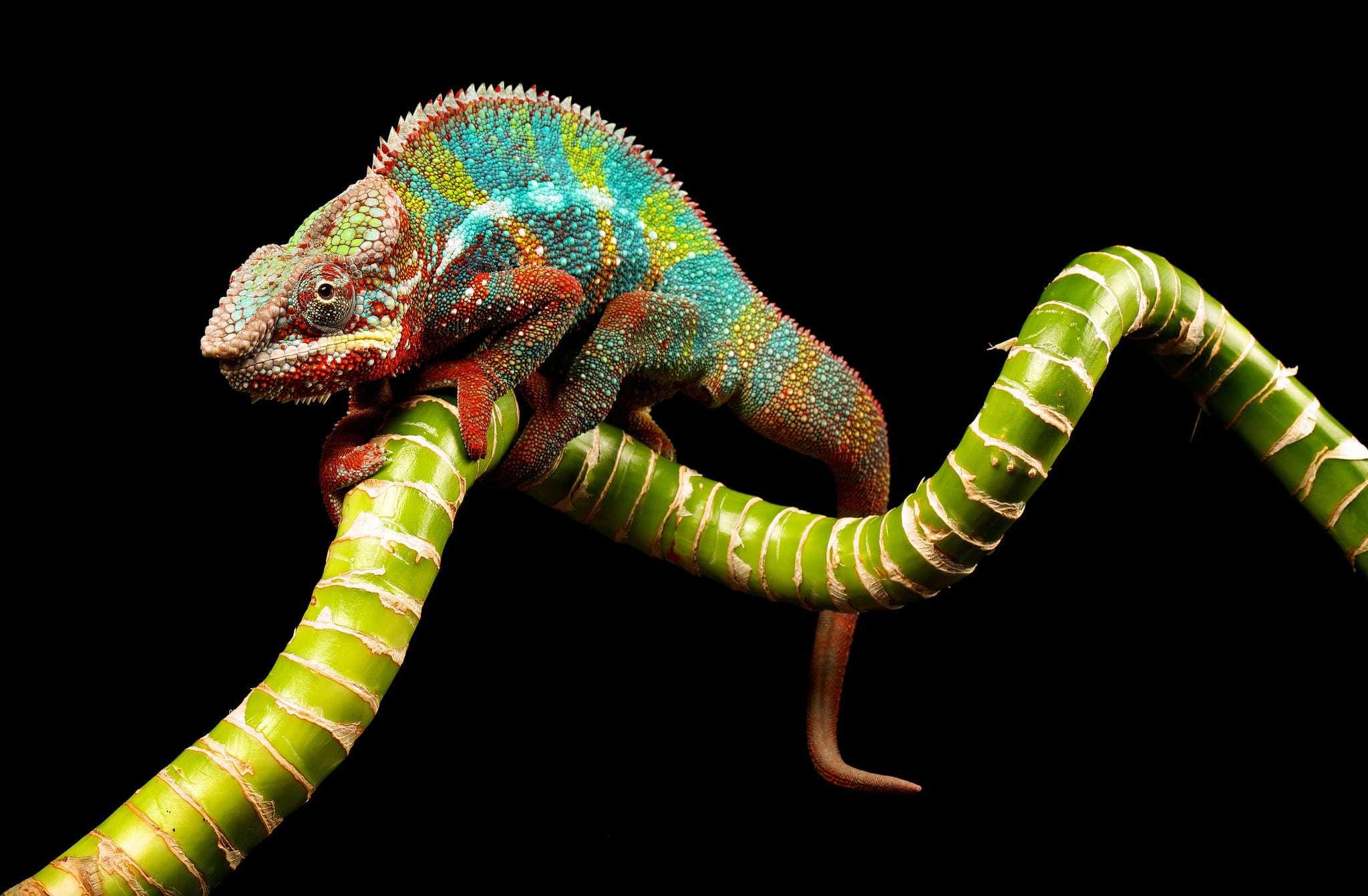 Chameleon Wallpapers HD