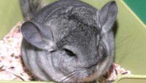 Chinchilla High Definition Wallpapers